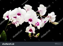 White Dendrobium Orchids Beautiful White Dendrobium Orchid Dark Purple Stock Photo 60020323