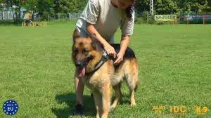 belgian malinois vest the right adjustment of our julius k9 harness youtube