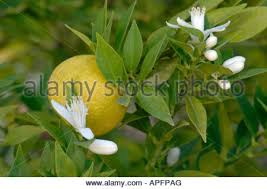 chinotto orange citrus aurantium myrtifolia fruit on tree