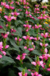 Image result for Chelone lyonii