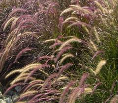 88 best grasses images on plants landscaping and