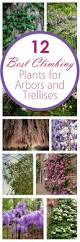 12 best climbing plants for arbors and trellises arbors wedding