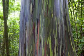 things you probably didn u0027t know about the rainbow eucalyptus
