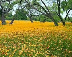 san antonio flowers yellow flowers of san antonio express news