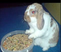 Jedzący królik