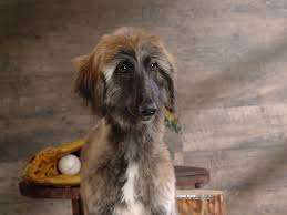 afghan hound least intelligent the intelligence of dogs u0027 intelligence illustrated with puppies