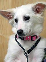 american eskimo dog adoption adopt jesse of sacramento a american eskimo dog animal stories