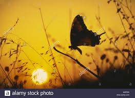 silhouette of swallowtail butterfly at sunset up missouri