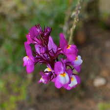 purple flowering australian native plants western australian flora