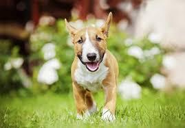 american eskimo dog for sale in colorado miniature bull terrier puppies for sale in colorado springs co