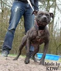 american pitbull terrier ireland save the breed and say no to blue hippos the real american pit