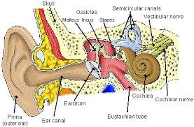 Human Ear Anatomy Quiz Parts Of The Ear Diagram To Label Periodic Tables