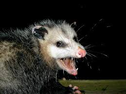 how to get rid of possum how to get rid of possum in your attic