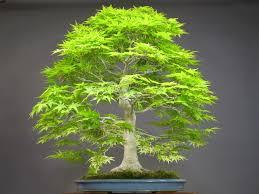 aliexpress buy 25 green japanese bonsai maple tree seeds