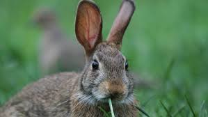 what do cottontail rabbits eat reference com
