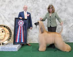 afghan hound breeders europe polo afghans local news january 2012