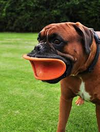 boxer dog meme the frisbee lips on my friends dog looks more like a duckface