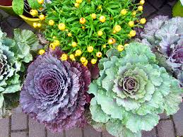 ornamental cabbage and kale hyannis country garden