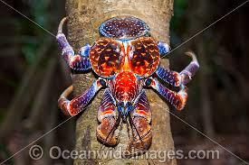coconut crab christmas island crab pinterest coconut crab