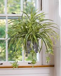silk plants hanging spider plant silk foliage planter at petals