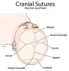How Many Bones Form The Cranium Fibrous Joint Wikipedia