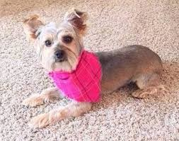 yorkie hair cut chart different yorkie haircut styles yorkshire terrier information