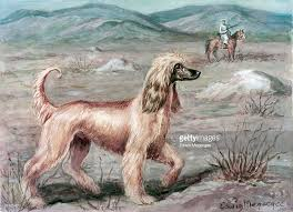 afghan hound jackets an afghan hound pauses during a gazelle hunt pictures getty images