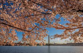 cherry blossom peak bloom delayed because of cold snap park
