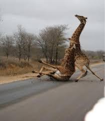 Fall Meme - giraffe trust fall meme guy