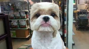 pictures of shih tzu haircuts 5 things nobody told you about shih tzu hairstyles shih tzu