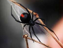 Black Widow Spiders Had A - black widow spider found on christmas tree at grocery store ny