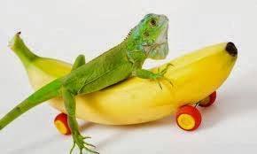 imágenes de iguanas verdes iguanas verdes