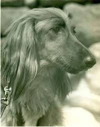 afghan hound therapy dog afghan hound history u0026 training temperament
