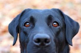 What Is Congenital Blindness Dog Blindness Causes And Prevention