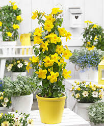 Yellow Climbing Flowers - buy a container plant now mandevilla u0027yellow u0027 bakker com