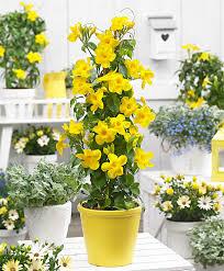Mandevilla Plant Diseases - buy a container plant now mandevilla u0027yellow u0027 bakker com