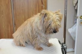 cairn hair cuts hand stripping terrier hand stripping grooming for terriers