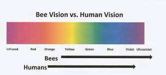 how bees see and why it matters bee culture