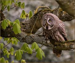 great gray owl in a tree by