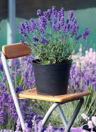 topfpflanzen balkon pflanzen für sonnige südbalkone petunien petunia
