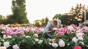 why peonies are the