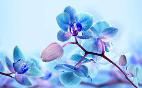 blue orchids blue orchids big island tv