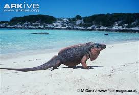 iguana island northern bahamian rock iguana photo cyclura cychlura g21113 arkive