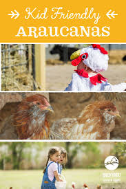 20 best araucana chickens images on pinterest poultry chicken