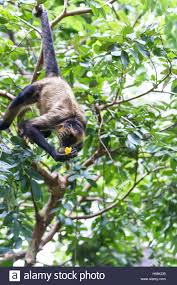 spider monkey hanging from a tree with his tail as he eats a ripe