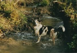 australian shepherd 1 jahr gewicht australian shepherd hunde wissenswertes
