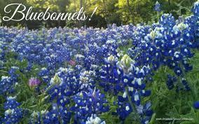 celebrating texas bluebonnets