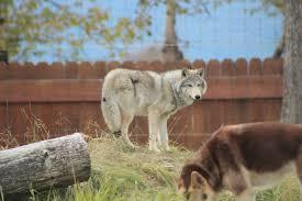 Alaska wild animals images Alaska wildlife conservation center life 39 s next adventures jpg
