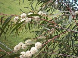 12 best eucalyptus collection images on plants