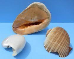bulk broken seashells for sale for crafts cheap